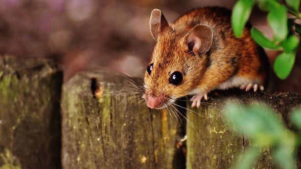 plaga de ratasciutat bella