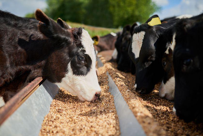 Piensos para animales de ganadería