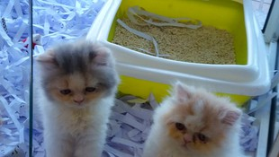 Gatitos persas disponibles