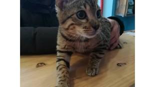 Test de leucemia para gatos