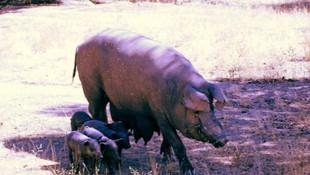 Madre y cerditos en la dehesa. Cría natural