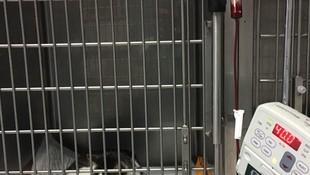 clinica veterinaria en Camarma de Esteruelas. Transfusión de sangre en Gato con anemia hemolitica autoinmune