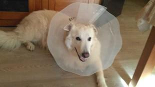 Can Exprés servicio veterinario a domicilio  Zaragoza : Pastor Belga recuperándose confortablemente, tras orquidectomía.