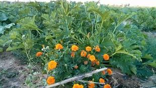 Cultivo de verduras responsable en Latina