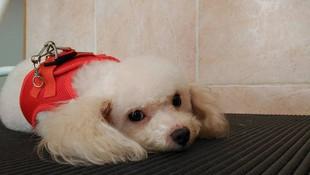 Servicios de peluquería canina a máquina