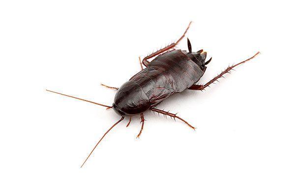 Cucaracha común