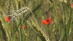 Semillas de cereales