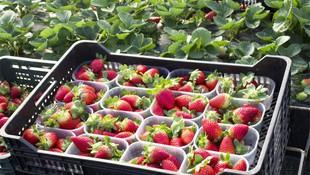 Fresas al por mayor en Huelva