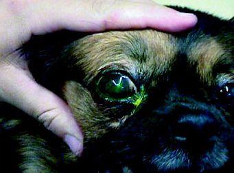 Problemas oculares Las Palmas de Gran Canaria http://www.clinica-veterinaria-losgalgos.es/es/
