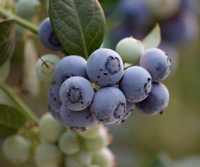 Productores de berries en Huelva