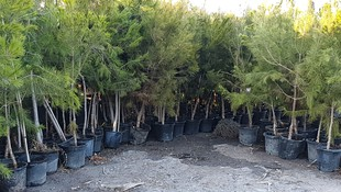 Viveros de árboles frutales Murcia