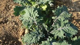 Cultivo de verdura ecológica en Latina