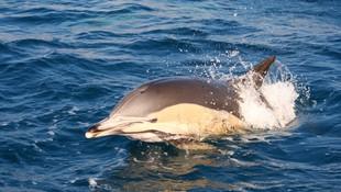 Avistameinto de Delfín común en Tarifa