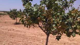 Venta de finca de pistachos en Ciudad Real