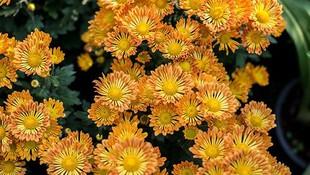 El #crisantemo simboliza el optimismo, la alegría y la longevidad. Sus colores van desde el blanco, al amarillo, el rosa y el morado. Una de las flores favoritas de la época del otoño